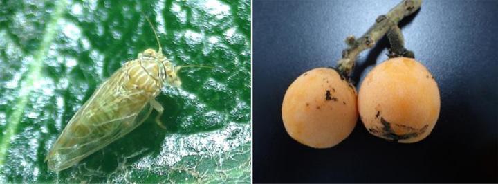 ビワキジラミ成虫(写真提供:大阪府環境農林水産部農政室)  果実のすす病症状(写真提供:大阪府環境農林水産部農政室)