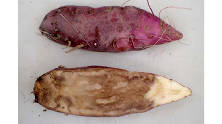サツマイモ基腐病が発生、県内初確認 茨城県