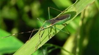 斑点米カメムシ類多発で注意報 石川県