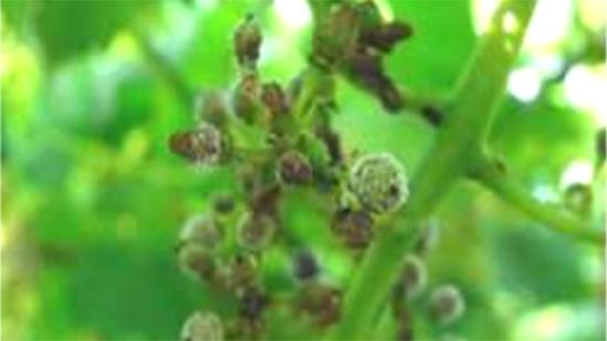 ブドウのべと病多発で防除対策を 愛知県