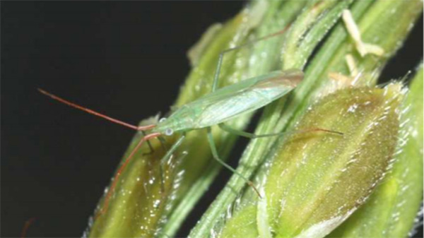 高温予想で病害虫:斑点米カメムシ類増殖に注意 山形県