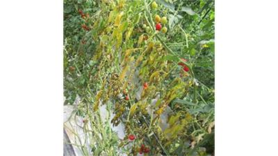 施設栽培トマトで県内初のトマト立枯病発生 広島県