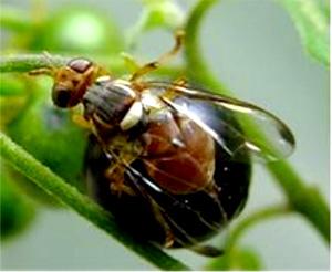 ナスミバエ成虫(写真提供:沖縄県病害虫防除技術センター)