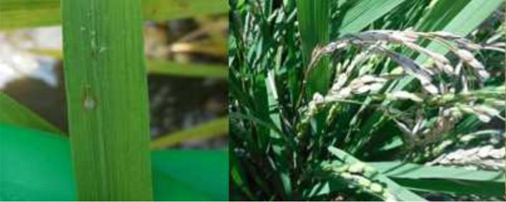 葉いもち病斑(急性型)と穂いもち(写真提供:徳島県立農林水産総合技術支援センター病害虫防除所)