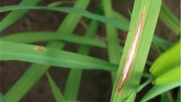 確認された葉いもち(写真提供:宮城県病害虫防除所)