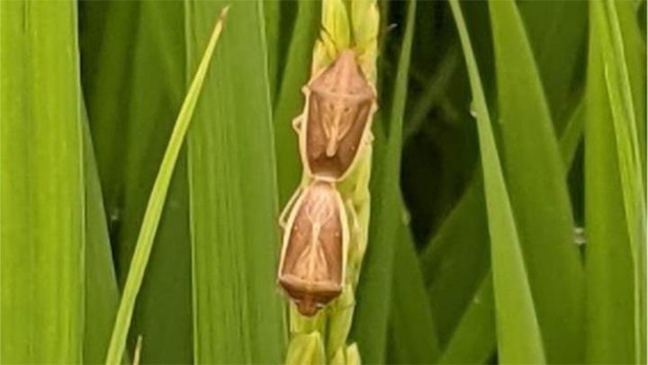 イネカメムシ成虫(写真提供:岐阜県病害虫防除所)