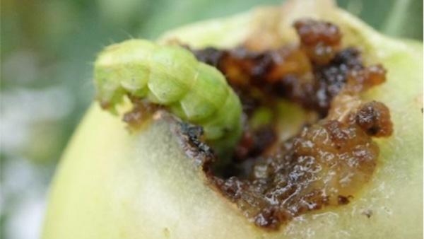 トマトの果実を加害するタバコガ類(写真提供:東京都病害虫防除所)