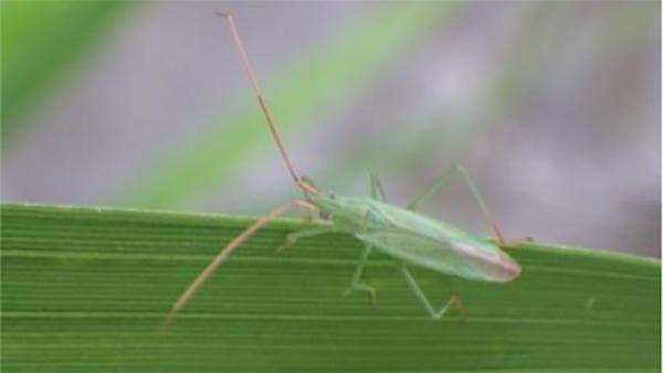 アカヒゲホソミドリカスミカメの成虫(写真提供:長野県病害虫防除所)