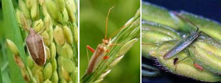 左からイネカメムシ成虫、アカスジカスミカメ成虫 、アカヒゲホソミドリカスミカメ成虫(写真提供:山口県病害虫防除所)