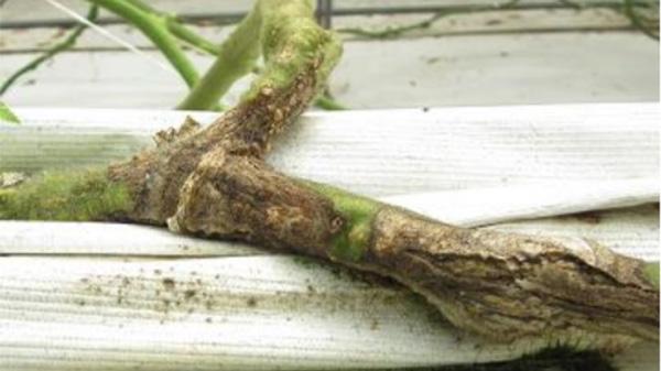 県内初のトマト立枯病を確認 三重県