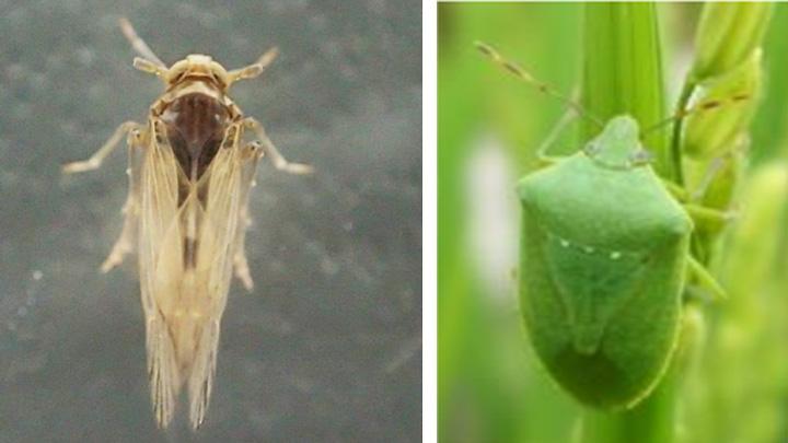 ウンカ、斑点米カメムシ類に警戒を 農水省-病害虫発生予報6号