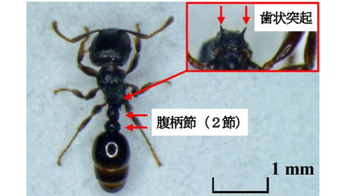ナスほ場でトビイロシワアリを初確認 栃木県