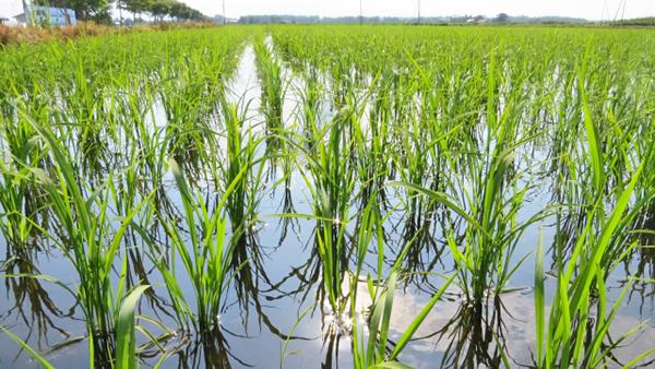 東海以西を中心にトビイロウンカの多発生予想 農水省-発生予報3号