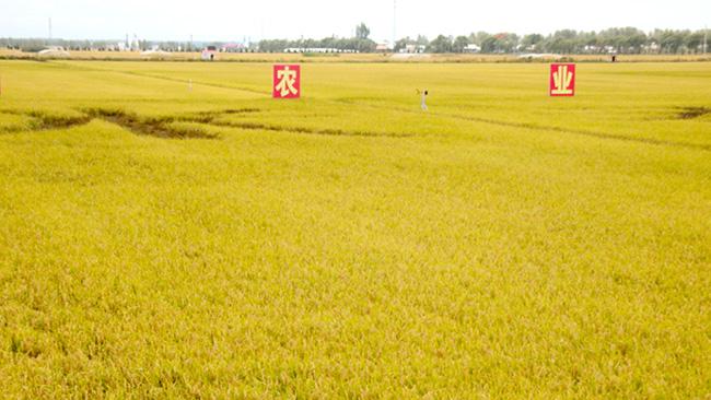 国内自給めざす中国の米(黒竜省ハルピン郊外で)