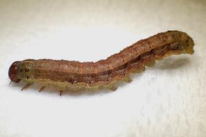 ツマジロクサヨトウの幼虫