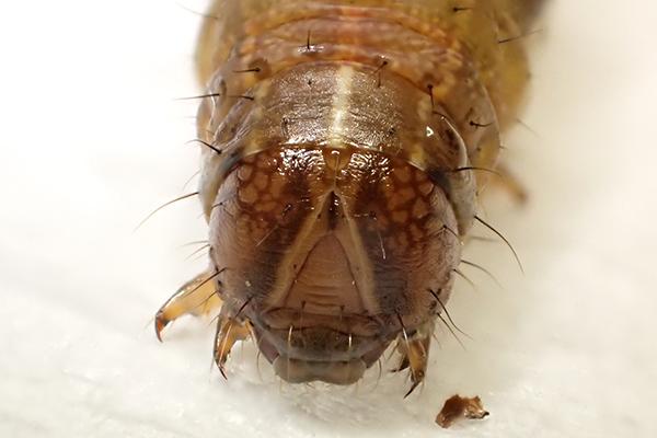 ツマジロクサヨトウ幼虫の頭部