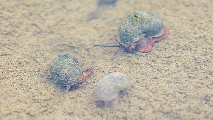 暖冬の影響でジャンボタニシ大発生の予兆!? 生育初期の稲を食害から守る3つのポイント