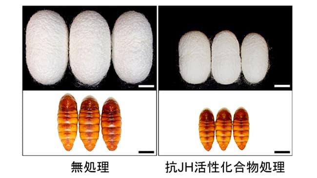 カイコの幼虫を使った抗 JH 活性化合物の効果の確認