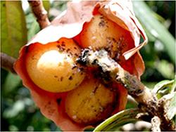 袋かけした果実の被害