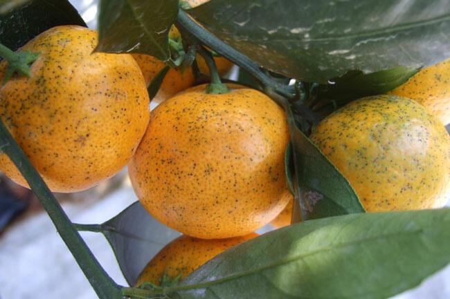 果実の黒点病斑