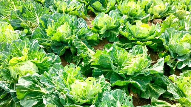 秋冬野菜の病害虫防除