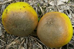 【現場で役立つ農薬の基礎知識 2018】ミカン主要病害虫防除のポイント 褐色腐敗病