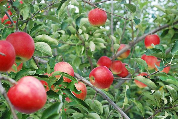 シードルの原料となるりんごの彩香