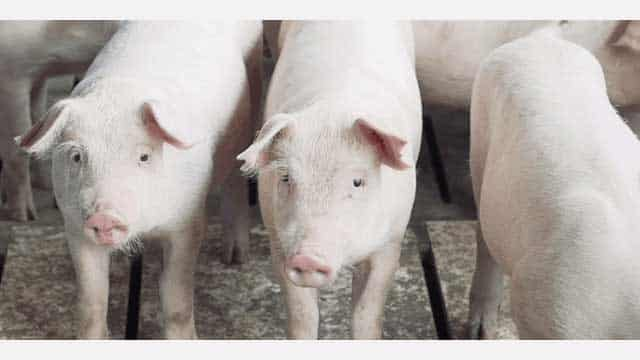 スペイン産白豚肉の販促をサポートーインターポーク