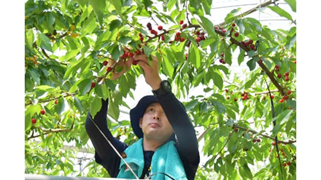 JR東日本と日本郵便の運送ネットワーク活用 山形県のさくらんぼ生産者を支援