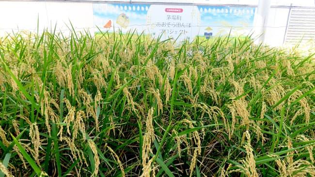 田植えから111日目となる稲刈り当日の稲穂の様子