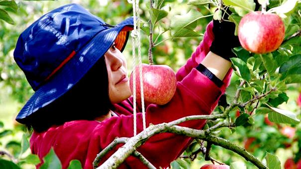 信州りんご部隊の「りんご風呂」市場に出回らない農作物を有効活用