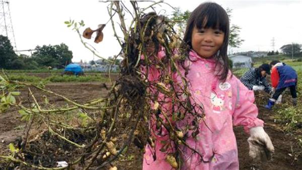四街道市で落花生「おおまさり」の収穫を楽しむ体験ツアー募集