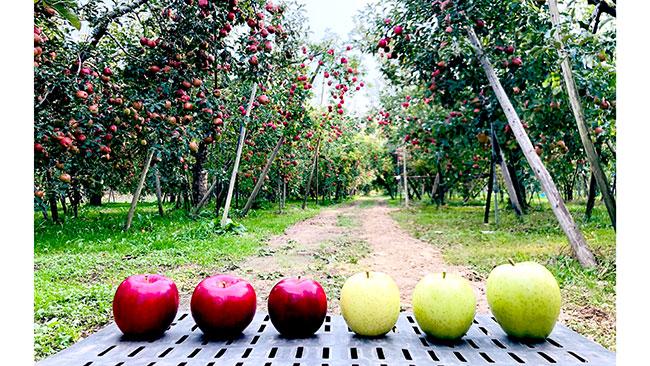 長野の被災りんご農家と横浜の認可保育園が連携 オンライン「復興りんご」狩り開催