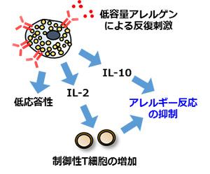 同研究によって明らかになった経口免疫療法のメカニズム。アレルギーを引き起こす悪玉マスト細胞が、アレルギーを抑制する善玉マスト細胞に変化する