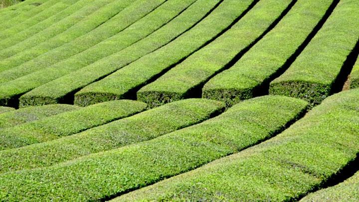 新時代の宇治茶生産へ「令和2年度茶業研究所研究報告会」オンライン開催