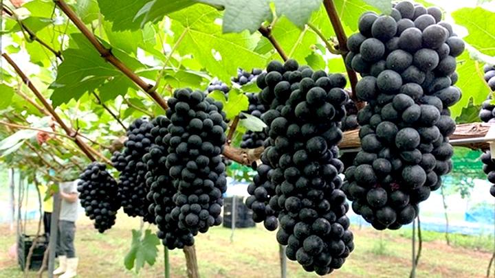 広島産ワイン用のブドウ