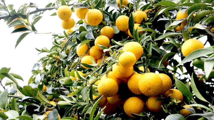 神奈川県産柑橘の「湘南ゴールド」
