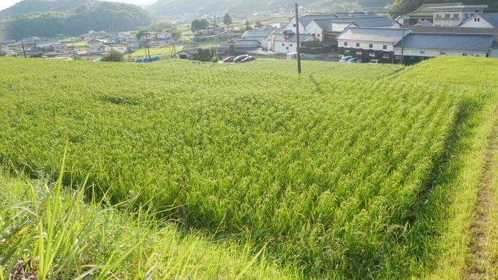 日本酒の未来へ種をまく 山田錦の稲作体験イベント開催 丸本酒造