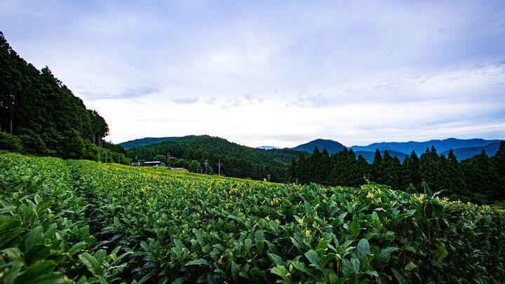 標高630メートルにある樽脇園の茶畑