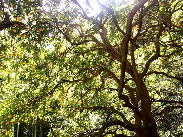 樹齢100年の夏みかんの樹