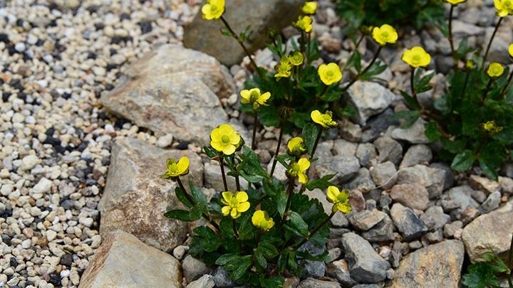 元気に開花したタカネキンポウゲ。絶滅危惧種コーナーで公開