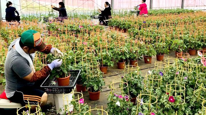 朝顔市に向けて大切に栽培されるアサガオ