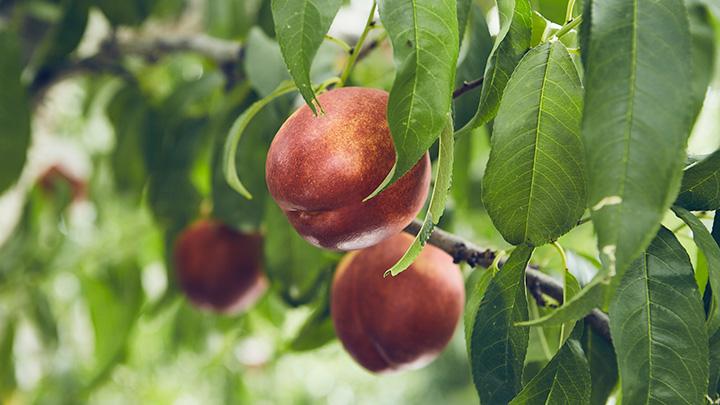 山梨市の桃農家で中心品種の「黎王」