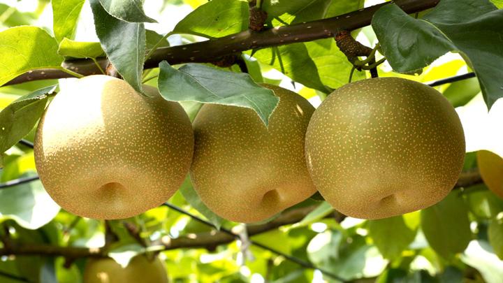 宇都宮を代表するブランド農産物産の梨