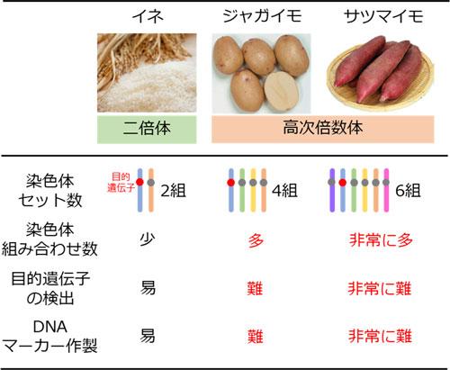 ジャガイモ・サツマイモのゲノムとDNAマーカー作製について