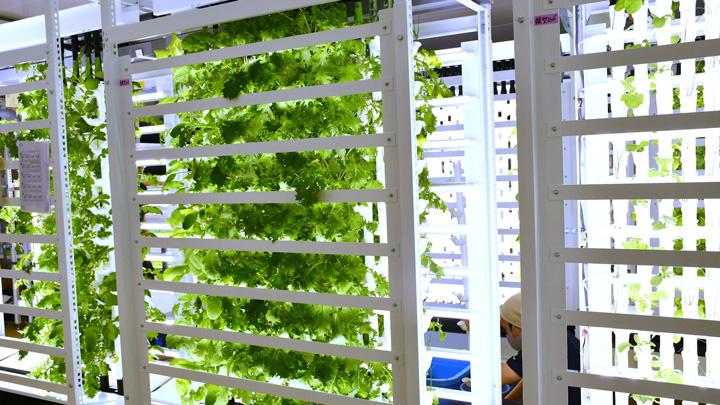 施設内で水耕栽培により農作物を育てる