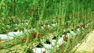 イチネン高知日高村農園のミニトマト畑