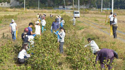 福島県で取り組みが進む茶綿づくり