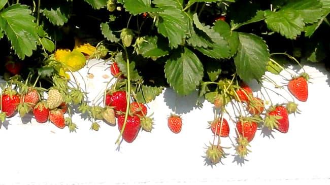 収量安定性を改善 加工用イチゴの新品種「夢つづき2号」育成 アヲハタ