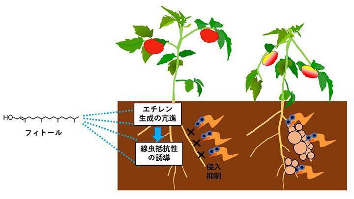 葉緑体成分フィトールのネコブセンチュウ抑制効果を確認 農研機構